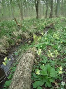 Frühjahrsaspekt mit Hoher Schlüsselblume und Busch-Windröschen